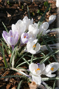 images of dafodils, snowdrops and crocuses.