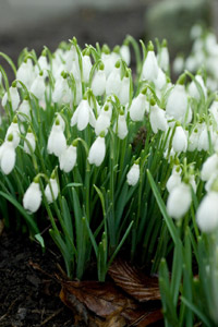 image of crocuses, dafodils and snowdrops.